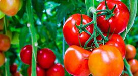 Tác dụng tuyệt vời của cà chua với sức khỏe